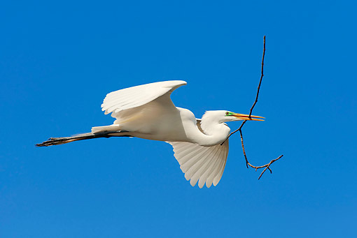 BRD 23 AC0022 01 © Kimball Stock Great Egret (Also Called Common Egret, Large Egret, Or Great White Heron/Egret) Soaring Across Sky With Nesting Material In Mouth, Florida, USA