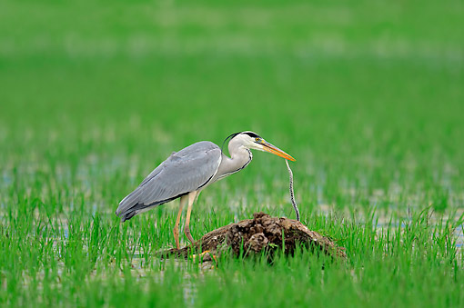 BRD 23 AC0023 01 © Kimball Stock Grey Heron Seizing Snake In Grass, Greece