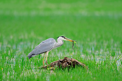 BRD 23 AC0024 01 © Kimball Stock Grey Heron Seizing Snake In Grass, Greece