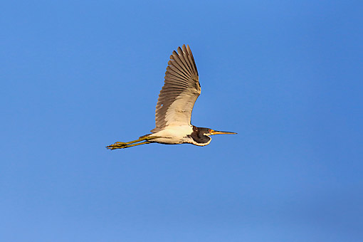 BRD 23 AC0031 01 © Kimball Stock Tricolored Heron Soaring Through Sky At Wakodahatchee Wetlands, Delray Beach, Florida
