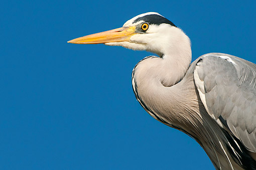 BRD 23 AC0035 01 © Kimball Stock Grey Heron Close Up, Lower Saxony, Germany