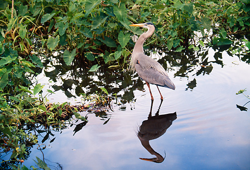 BRD 23 BA0001 01 © Kimball Stock Great Blue Heron Standing In Water Profile