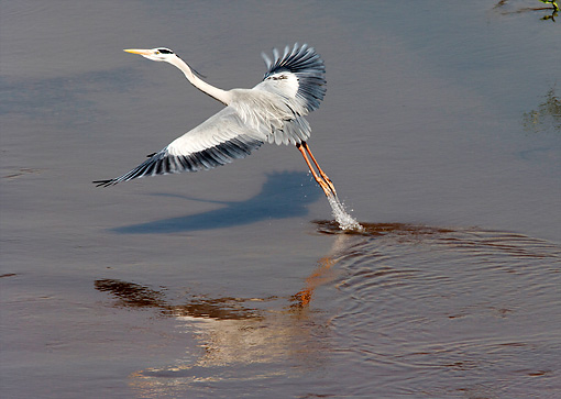 BRD 23 HP0001 01 © Kimball Stock Grey Heron Catching Fish Kruger National Park, South Africa
