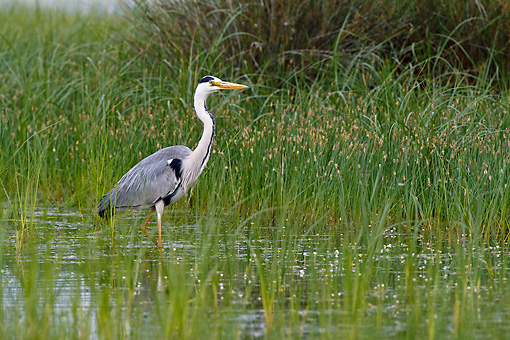 BRD 23 KH0002 01 © Kimball Stock Grey Heron Walking In Shallow Marsh Water