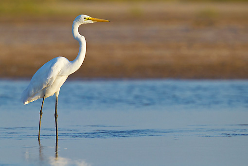 BRD 23 KH0003 01 © Kimball Stock Great Egret Standing In Shallow Water Gujarat, India