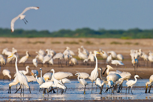 BRD 23 KH0004 01 © Kimball Stock Spoonbills, Large Egret And Little Egrets Feeding In Lagoon Gujarat, India