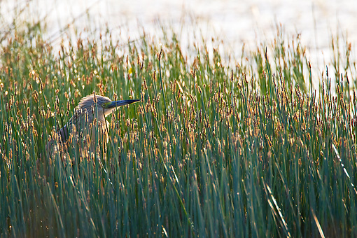 BRD 23 KH0005 01 © Kimball Stock Squacco Heron Standing In Tall Grass France