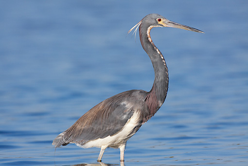 BRD 23 LS0001 01 © Kimball Stock Tricolored Heron Standing In Tidal Flat Stalking Fish