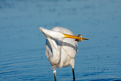 BRD 23 LS0002 01 © Kimball Stock Great Egret Standing In Shallow Water With Fish In Beak