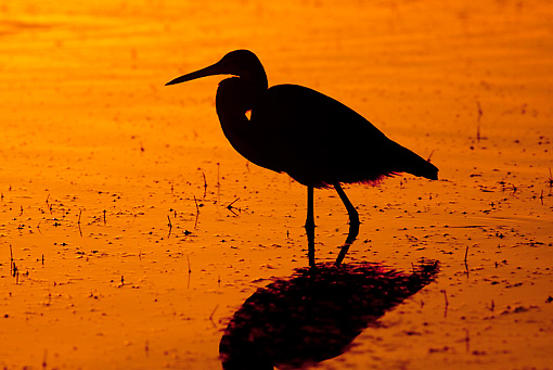BRD 23 LS0003 01 © Kimball Stock Silhouette Of Tricolored Heron Standing In Shallow Water At Dawn