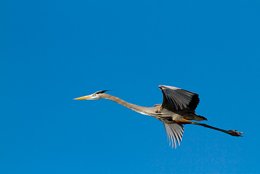 BRD 23 LS0004 01 © Kimball Stock Great Blue Heron In Flight Against Blue Sky Pinellas County, Florida