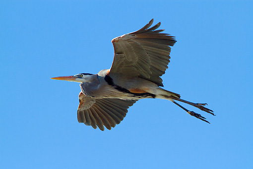 BRD 23 LS0005 01 © Kimball Stock Great Blue Heron In Flight Over Beach Pinellas County, Florida