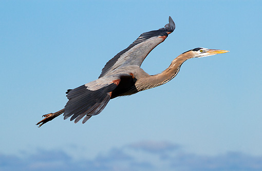BRD 23 LS0006 01 © Kimball Stock Great Blue Heron In Flight Over Beach Pinellas County, Florida