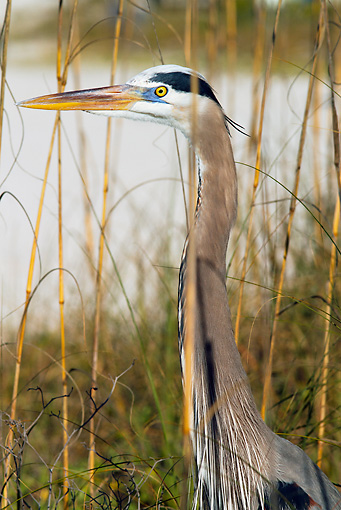 BRD 23 LS0007 01 © Kimball Stock Great Blue Heron Standing In Sea Oaks Pinellas County, Florida