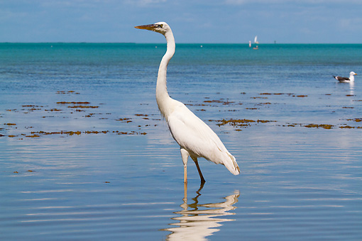 BRD 23 LS0008 01 © Kimball Stock Great White Heron Wading In Saltwater Shallows, Florida Keys