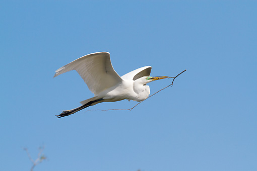 BRD 23 LS0010 01 © Kimball Stock Great Egret In Breeding Plumage Flying With Stick For Nest Osceola County, Florida