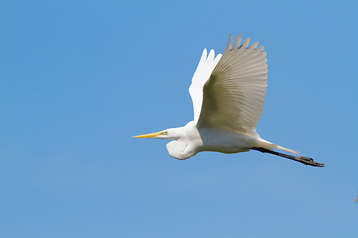 BRD 23 LS0011 01 © Kimball Stock Great Egret In Flight St. John's County, Florida