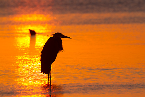 BRD 23 LS0012 01 © Kimball Stock Silhouette Of Great Blue Heron Standing In Tidal Shallows At Sunrise St. Petersburg, Florida