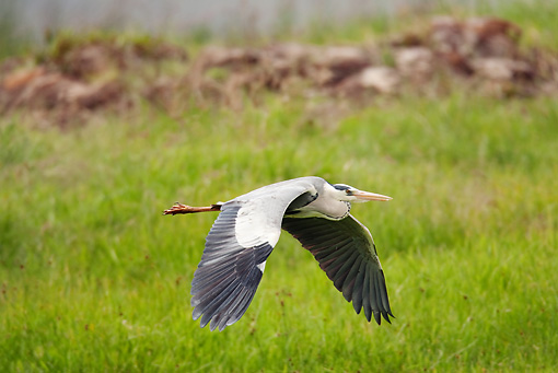 BRD 23 MC0002 01 © Kimball Stock Gray Heron Flying Low Over Wetlands Kenya
