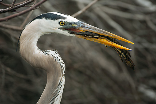 BRD 23 MC0003 01 © Kimball Stock Head Shot Of Great Blue Heron Eating Fish In Everglades