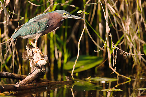 BRD 23 MC0005 01 © Kimball Stock Greenbacked Heron Perched Near Pond And Vegetation In Everglades