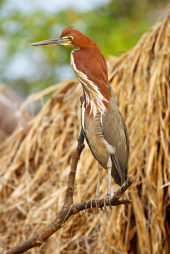 BRD 23 MC0006 01 © Kimball Stock Rufescent Tiger-Heron Male Perched On Stick Brazil