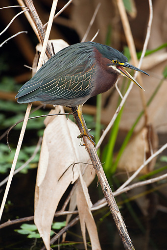 BRD 23 MC0010 01 © Kimball Stock Green-Backed Heron Perched Near Pond In Vegetation Everglades