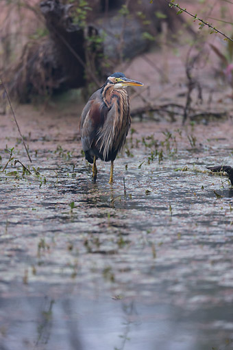 BRD 23 MC0020 01 © Kimball Stock Gray Heron Fishing In Water Hole, India