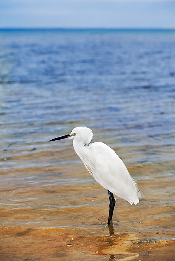 BRD 23 MH0001 01 © Kimball Stock Little Egret Standing In Water