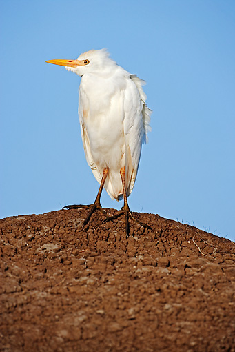 BRD 23 MH0002 01 © Kimball Stock Close Up Of Egret Standing On Dirt
