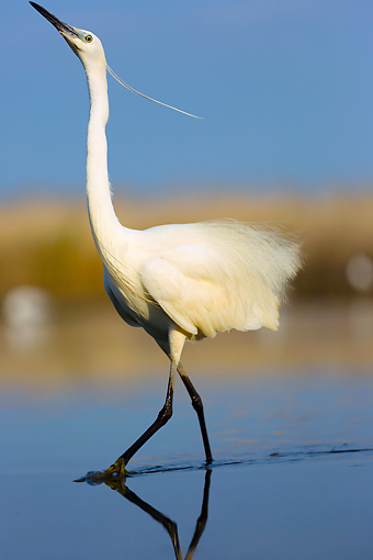 BRD 23 MH0006 01 © Kimball Stock Portrait Of Little Egret Walking In Shallow Water