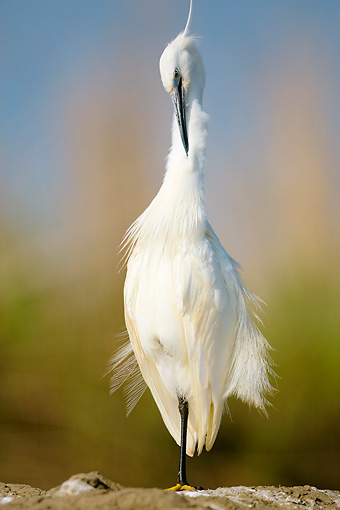 BRD 23 MH0007 01 © Kimball Stock Portrait Of Little Egret Standing On Rock