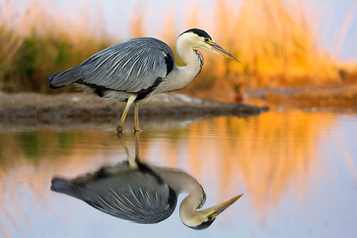 BRD 23 MH0008 01 © Kimball Stock Grey Heron Standing In Shallow Water By Reflection