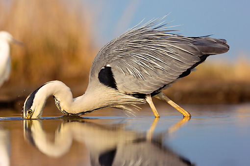 BRD 23 MH0010 01 © Kimball Stock Grey Heron Fishing In Shallow Water By Reflection