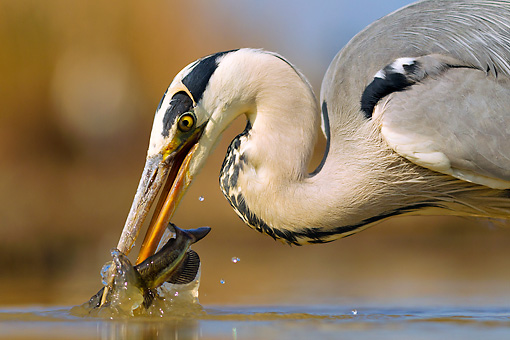 BRD 23 MH0011 01 © Kimball Stock Close-Up Of Grey Heron Catching Fish In Shallow Water