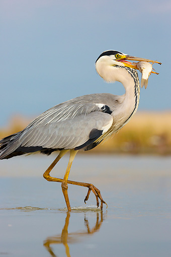 BRD 23 MH0012 01 © Kimball Stock Portrait Of Grey Heron Walking Through Shallow Water With Fish