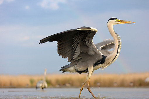 BRD 23 MH0013 01 © Kimball Stock Portrait Of Grey Heron Walking Through Shallow Water With Wings Spread