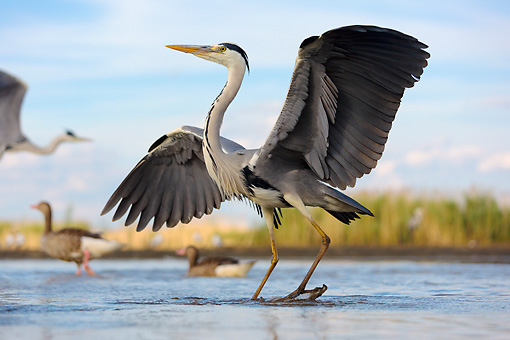 BRD 23 MH0014 01 © Kimball Stock Portrait Of Grey Heron Standing In Shallow Water With Wings Spread