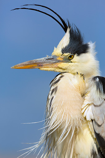 BRD 23 MH0015 01 © Kimball Stock Portrait Of Grey Heron Sitting Against Blue Sky