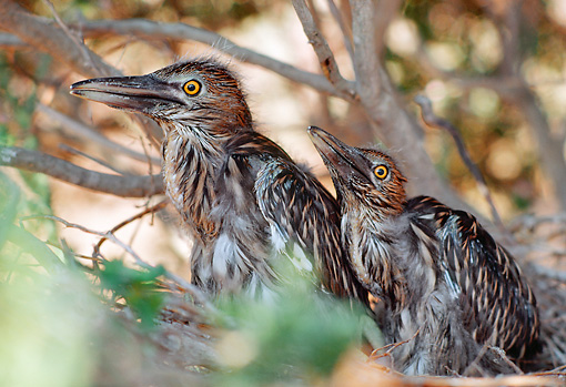 BRD 23 RK0002 03 © Kimball Stock Two Great Blue Heron Chicks Sitting In Nest