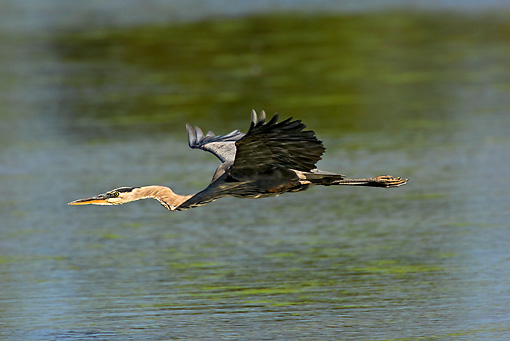 BRD 23 TK0002 01 © Kimball Stock Great Blue Heron Flying Over Water
