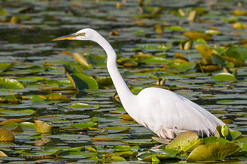 BRD 23 TK0003 01 © Kimball Stock Great Egret Wading In Lake Erie In Spring