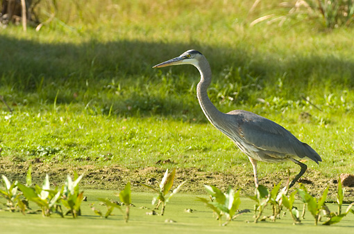 BRD 23 NE0003 01 © Kimball Stock Great Blue Heron Walking In Marsh