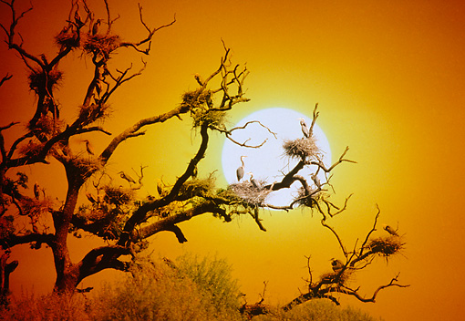BRD 23 RK0010 02 © Kimball Stock Great Blue Herons Nesting In Tree With Bare Branches Against Sunset