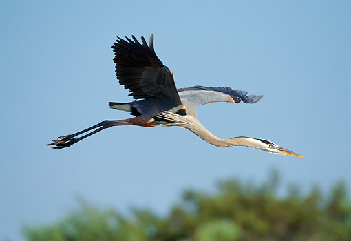 BRD 23 TK0001 01 © Kimball Stock Great Blue Heron Flying Above Trees Blue Sky