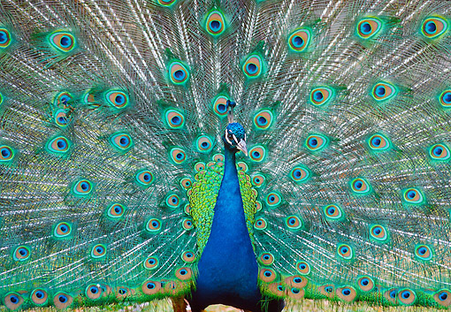 BRD 24 GR0001 01 © Kimball Stock Close-Up Of Peacock With Tail Feathers Spread