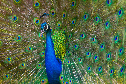 BRD 24 KH0001 01 © Kimball Stock Close-Up Of Peacock Male Courting Female France