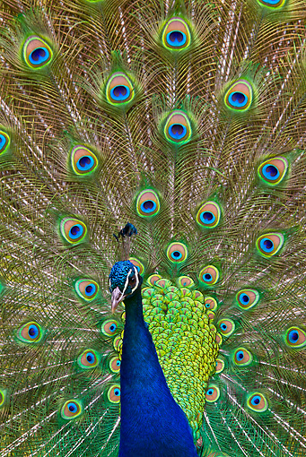 BRD 24 KH0002 01 © Kimball Stock Close-Up Of Peacock Male Courting Female France