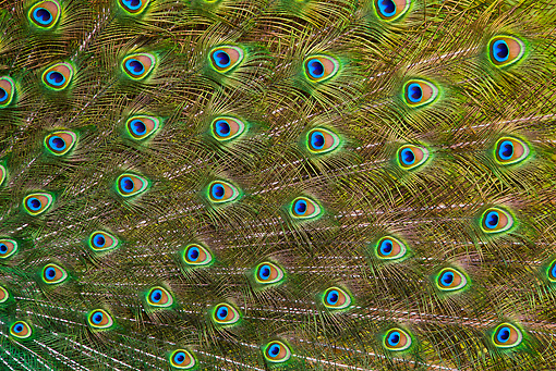 BRD 24 KH0003 01 © Kimball Stock Close-Up Of Peacock Male Feathers France