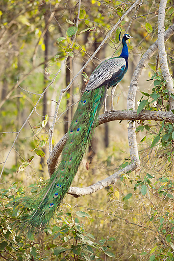 BRD 24 MC0001 01 © Kimball Stock Indian Peafowl Male Standing On Branch Kanha National Park In Madhya Pradesh, India